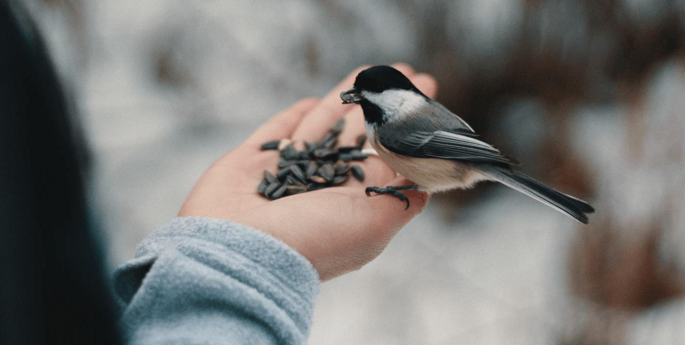 Tuen Sie den Vögeln mit Vogelfutter Sonnenblumenkerne etwas Gutes