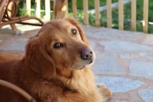 Leishmaniose Hund mit Therapie und richtiger Ernährung lindern